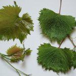 Фото 91: Короткозулие винограда