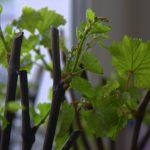 Фото 103: Как размножить виноград черенками