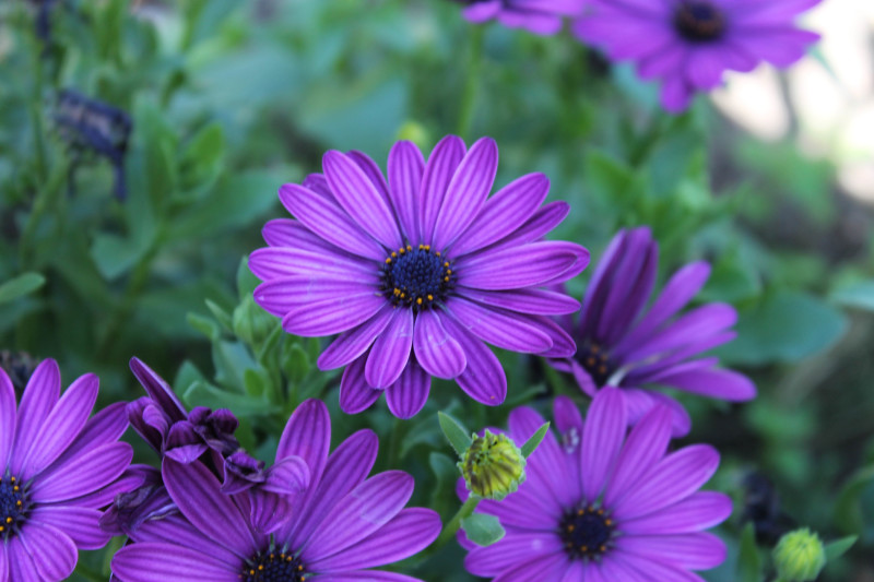 Фото 24: Маргаритка Africaine фиолетовая