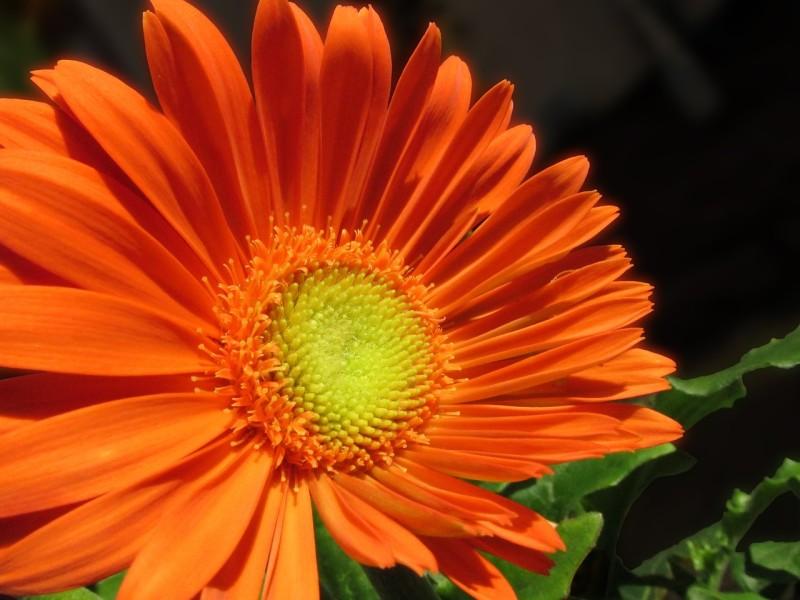 Фото 27: Оранжевая гербера