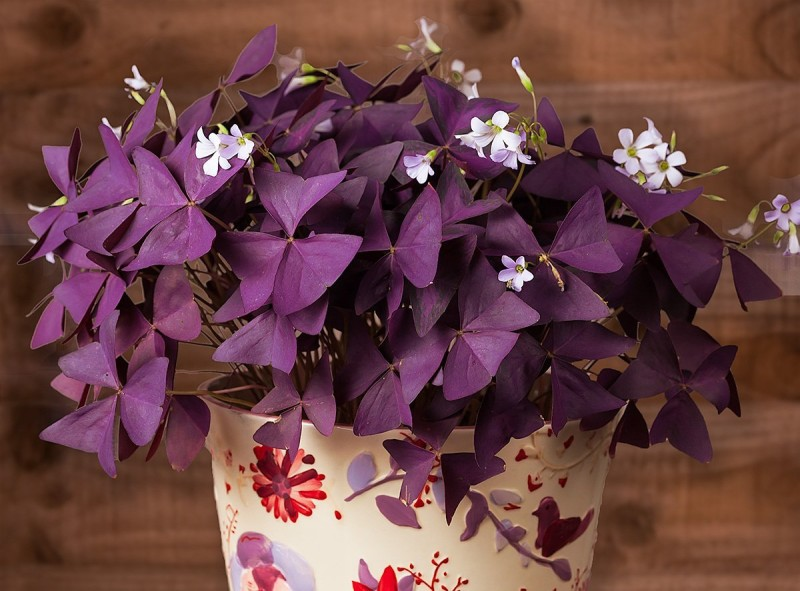 Фото 24: Oxalis triangularis