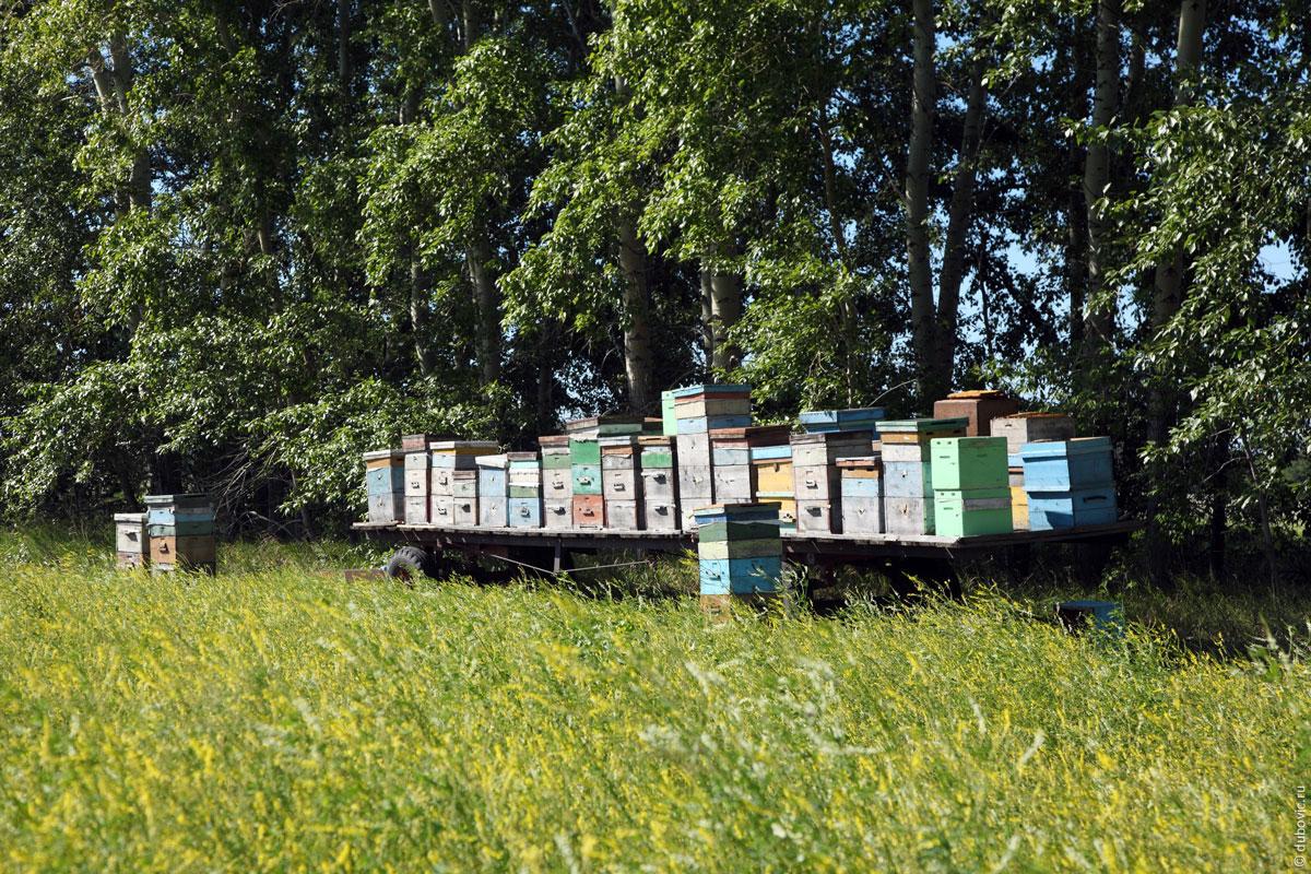 Пчеловодство на поле с донником