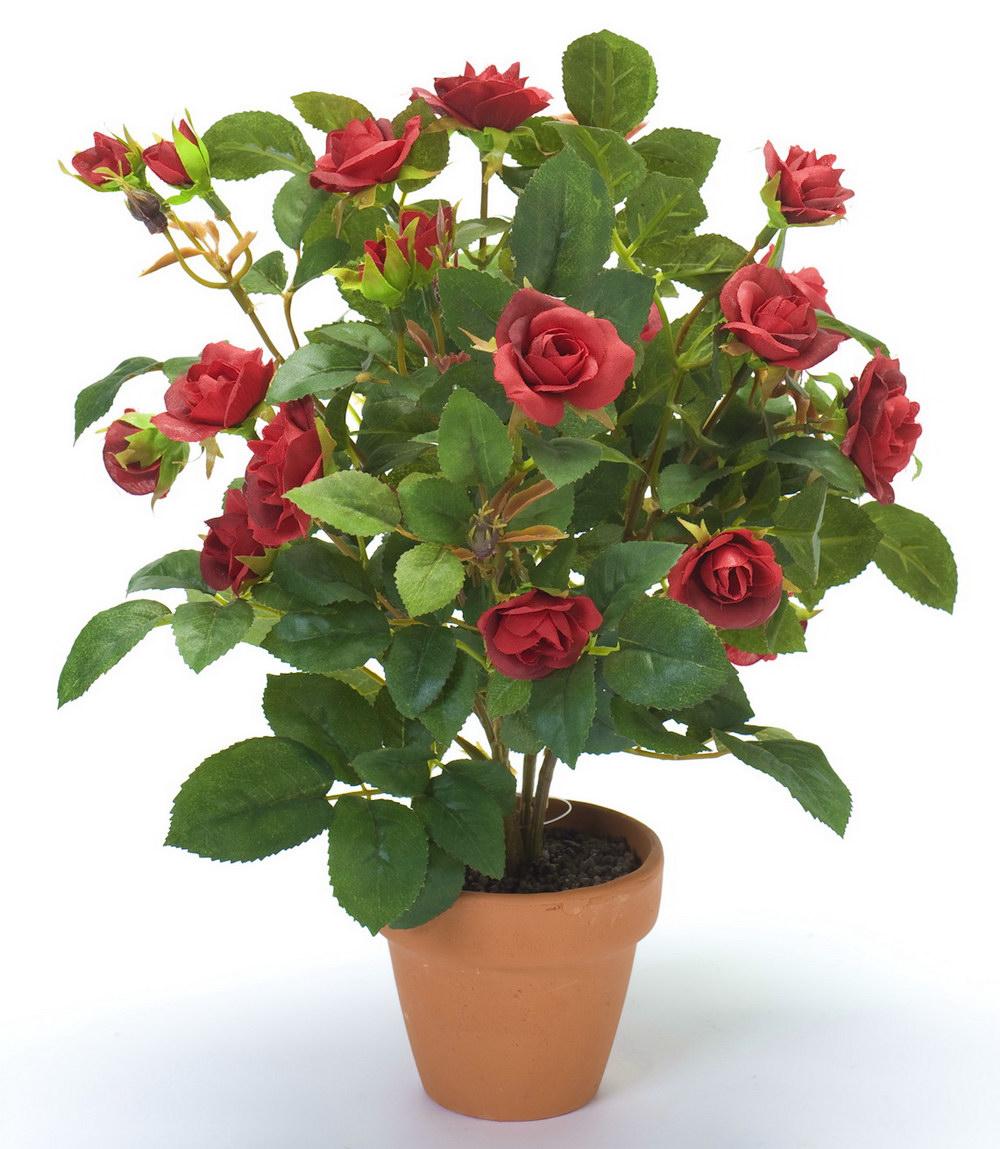 Пересадка роз в горшки