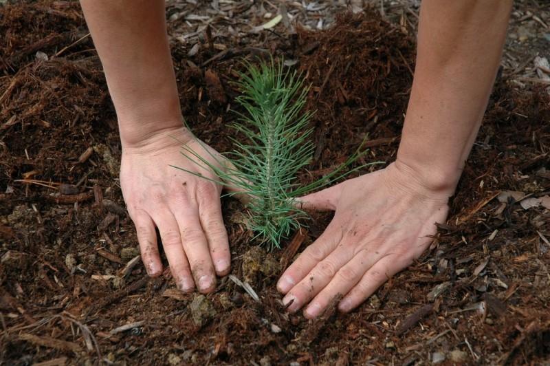 Фото 22: Посадка саженца кедрового дерева