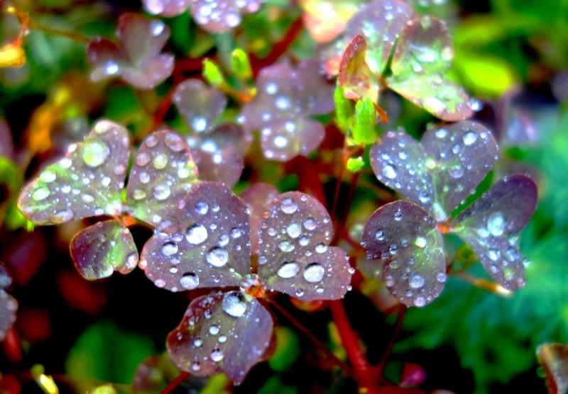 Фото 30: Кислица в дождь
