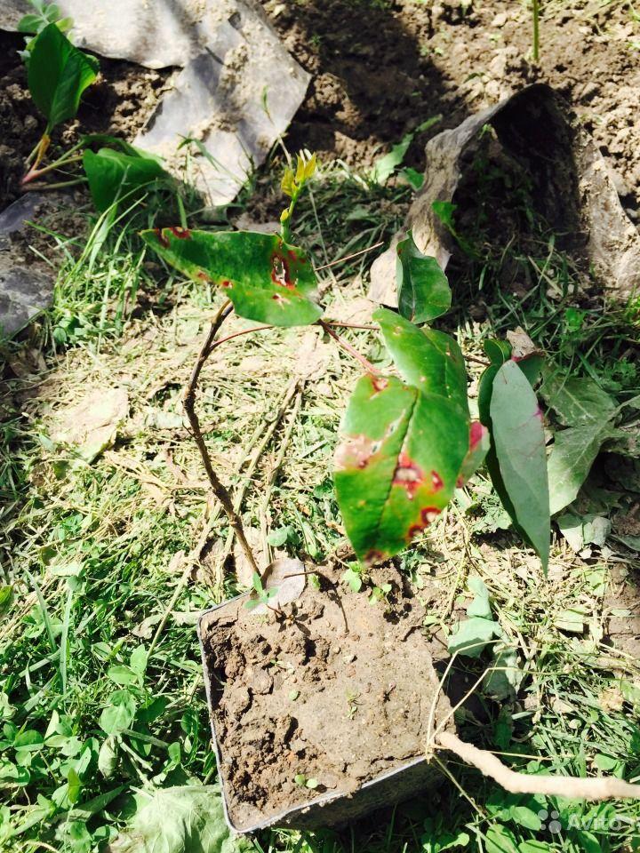 Поражение листьев магонии