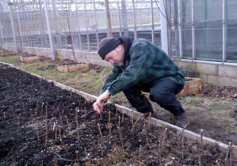 Как посадить виноград черенками весной