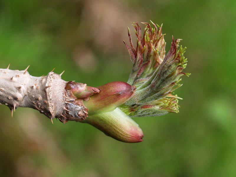 Появление листьев аралии
