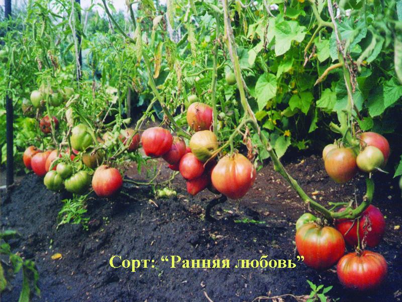 Фото 20: Сорт томатов Ранняя любовь