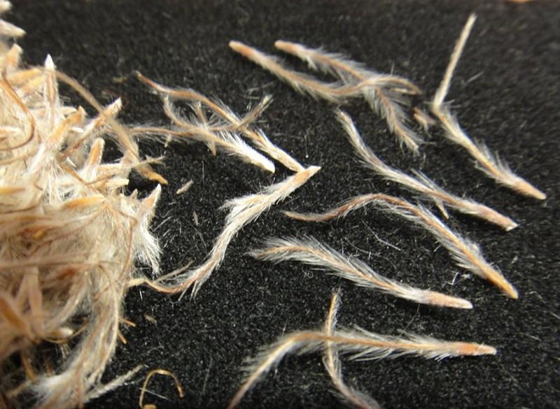 Семена сон-травы