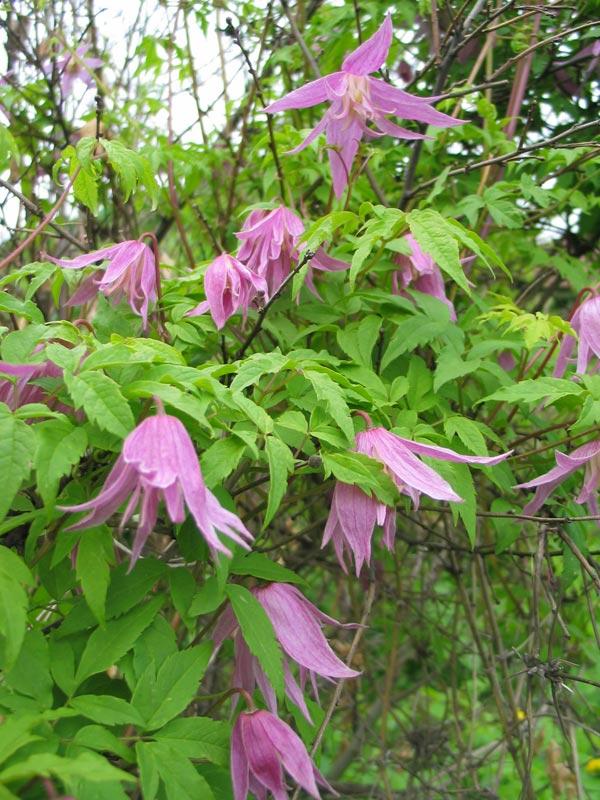 Цветение княжиков в саду