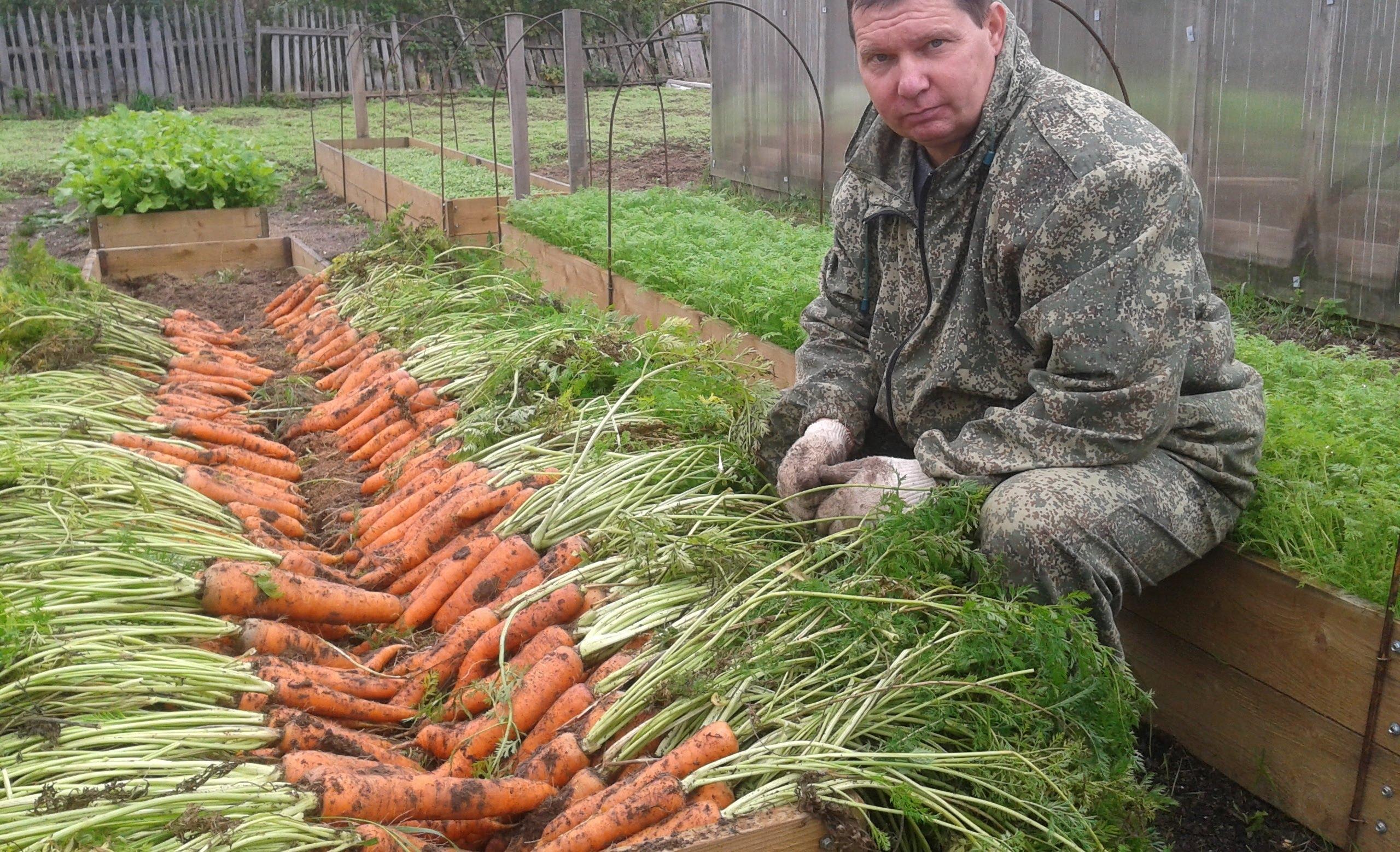 Морковь выращенная на теплых грядках