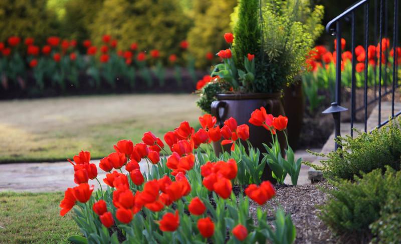 Фото 34: Тюльпаны