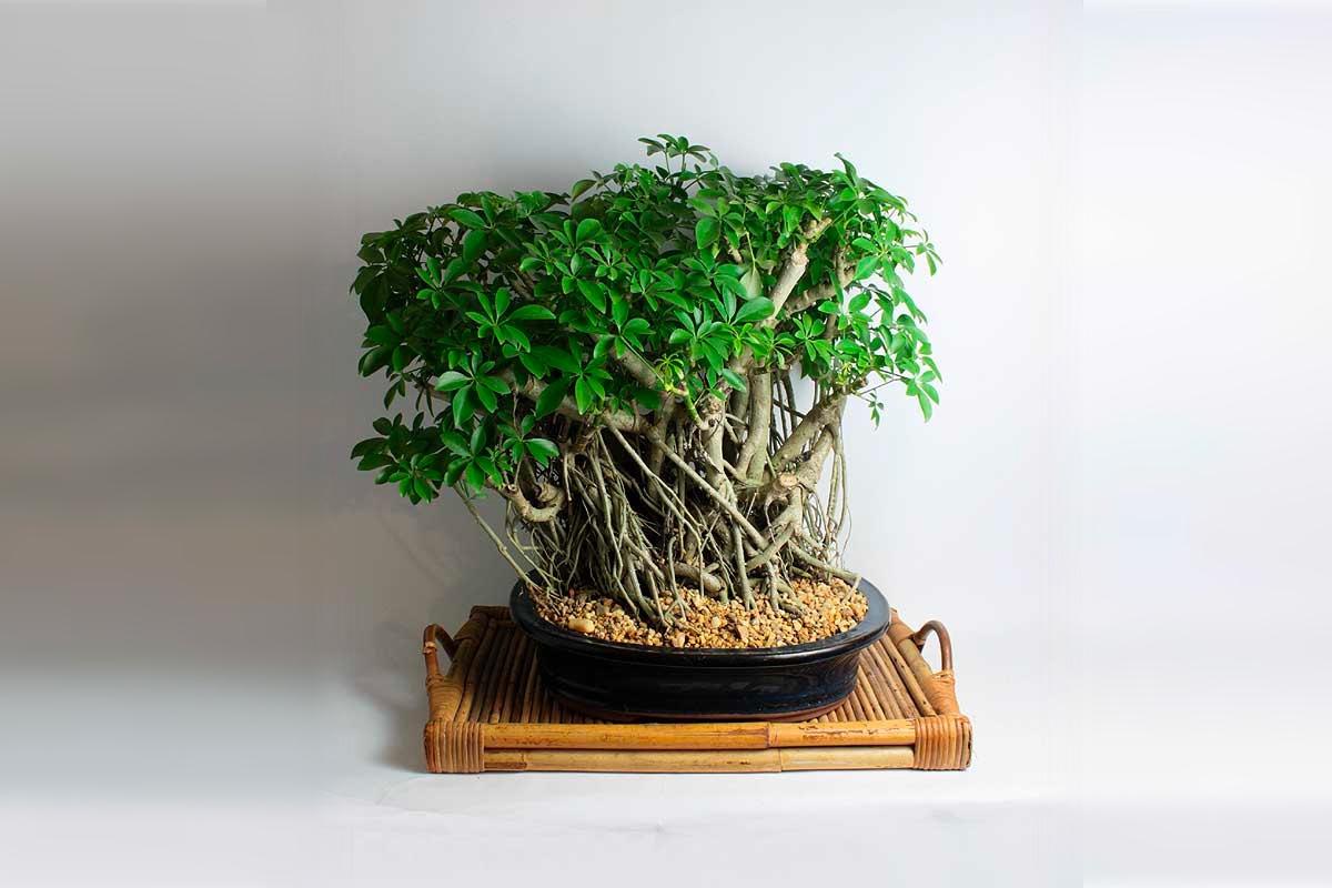 товар недели дерево бонсай