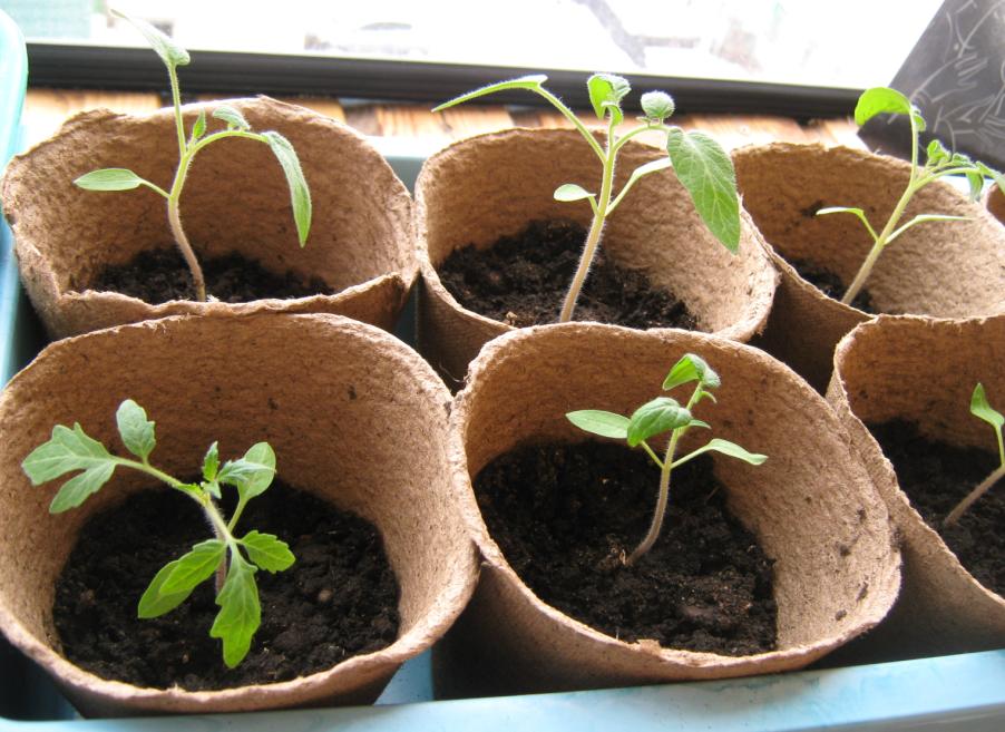 Посадили помидоры в горшки
