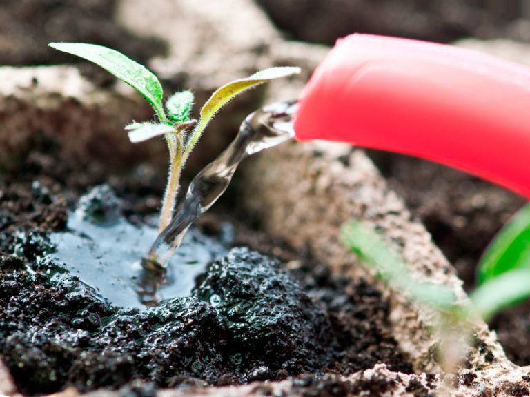 Чем поливать рассаду помидоров 837