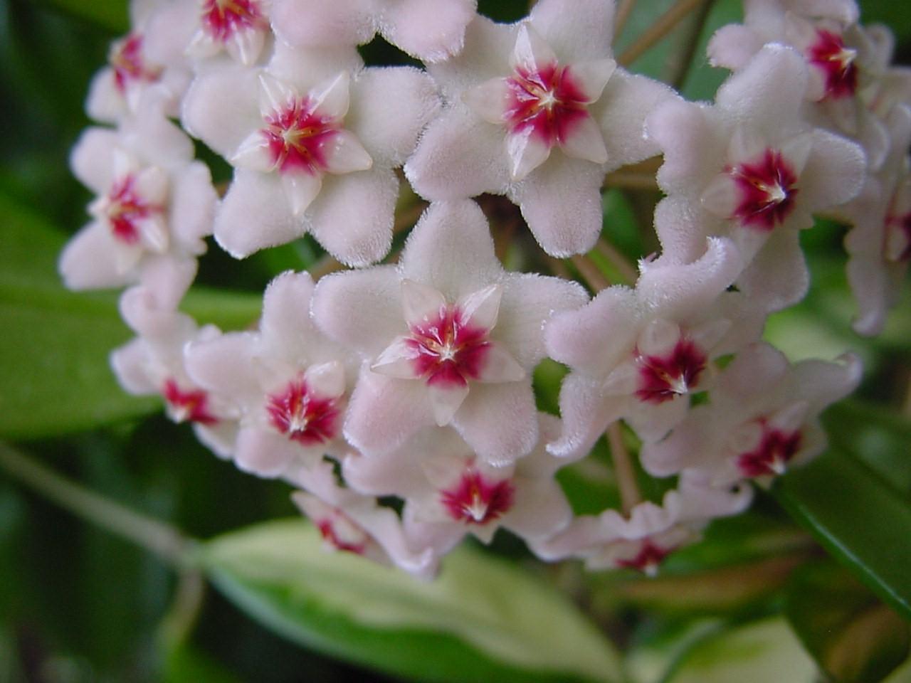 Фото цветы хойи