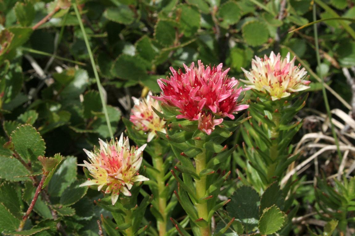 Цветки красной щетки