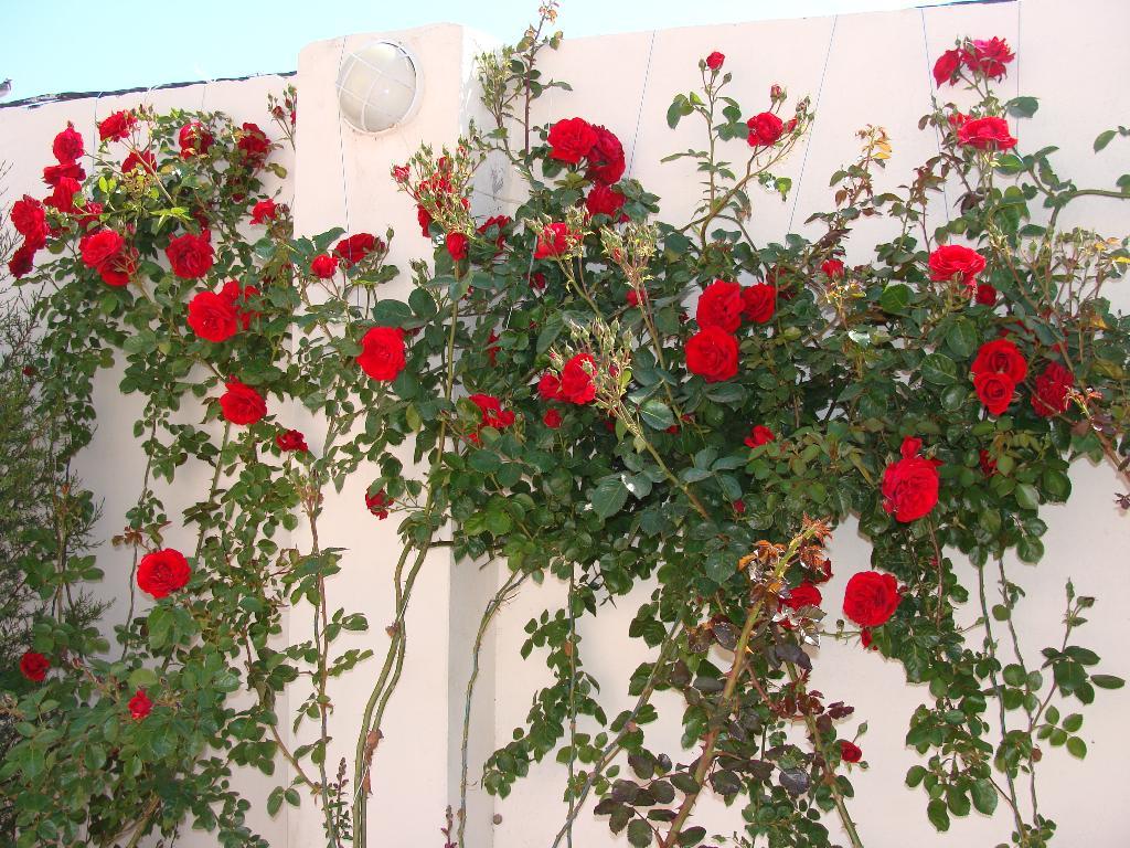 Плетистая роза на фото