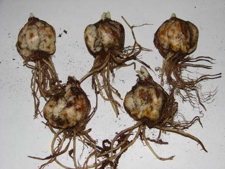 Как сажать лилии осенью если проросли луковицы 89