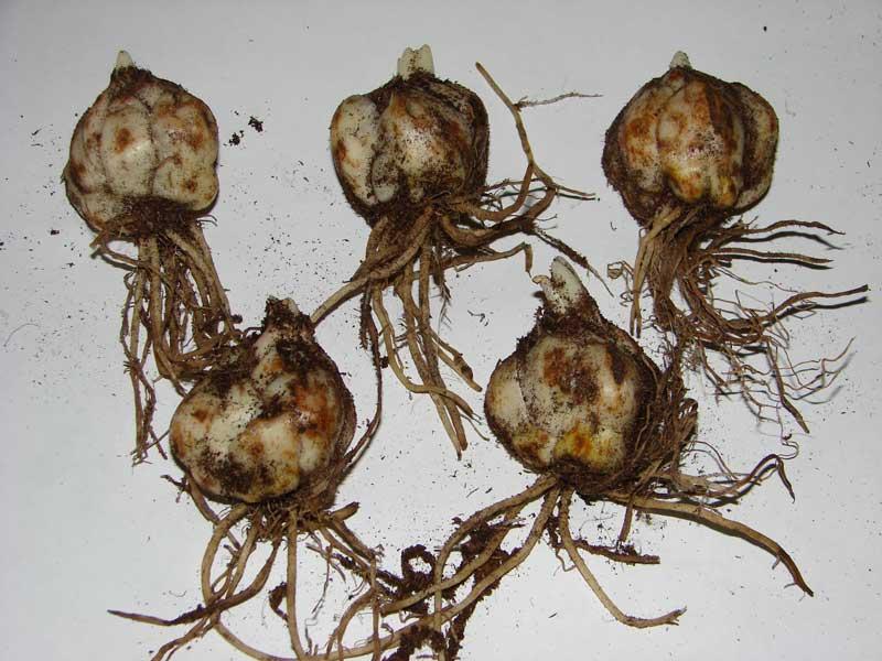 Луковицы лилии