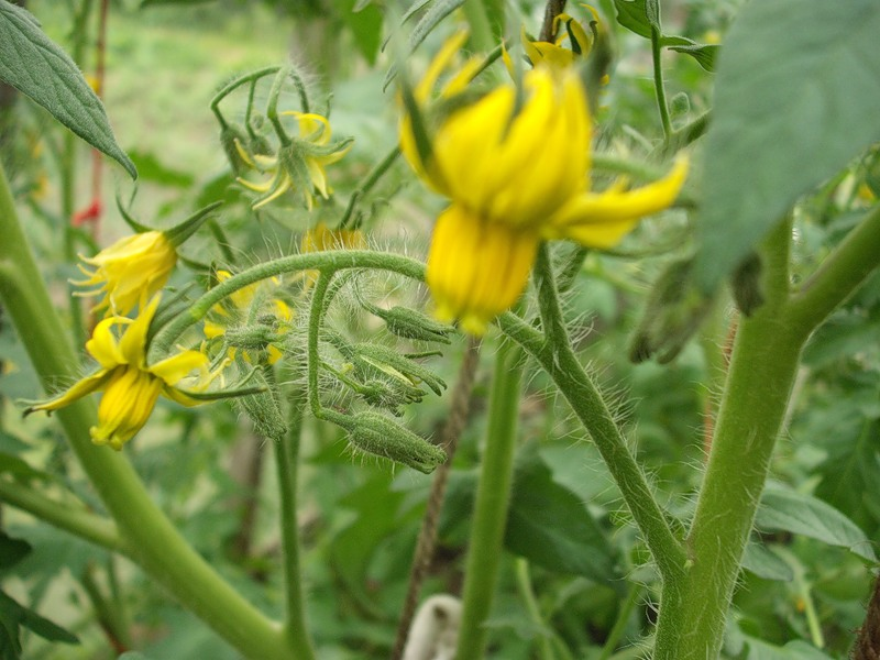 Томаты во время цветения и формирования плодов