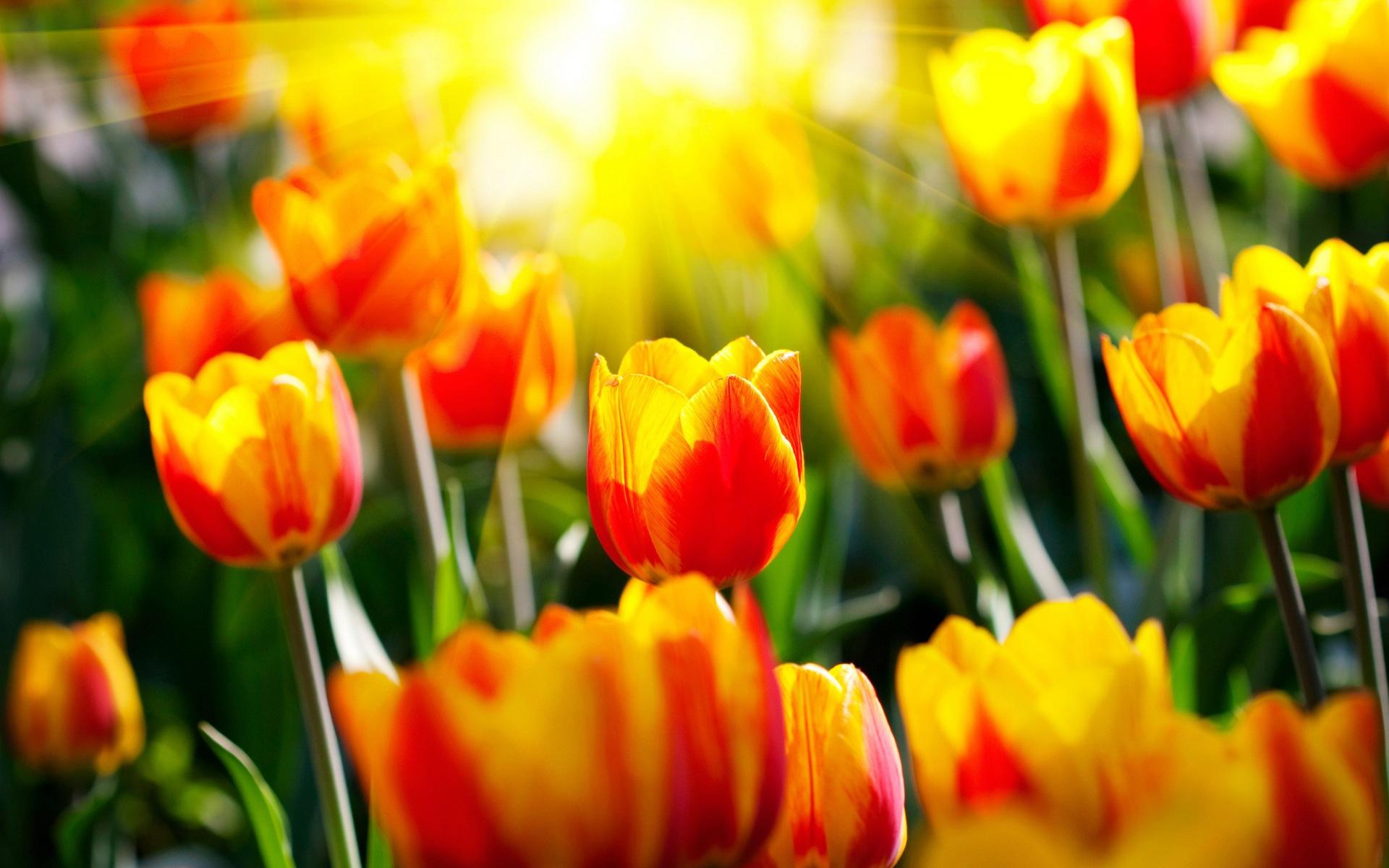 Цветы тюльпанов