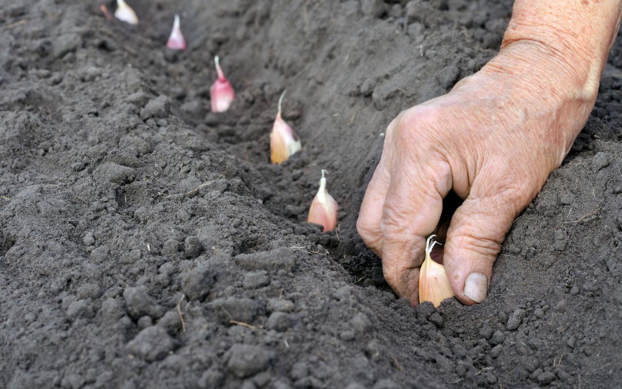 Правильное выращивание чеснока 20