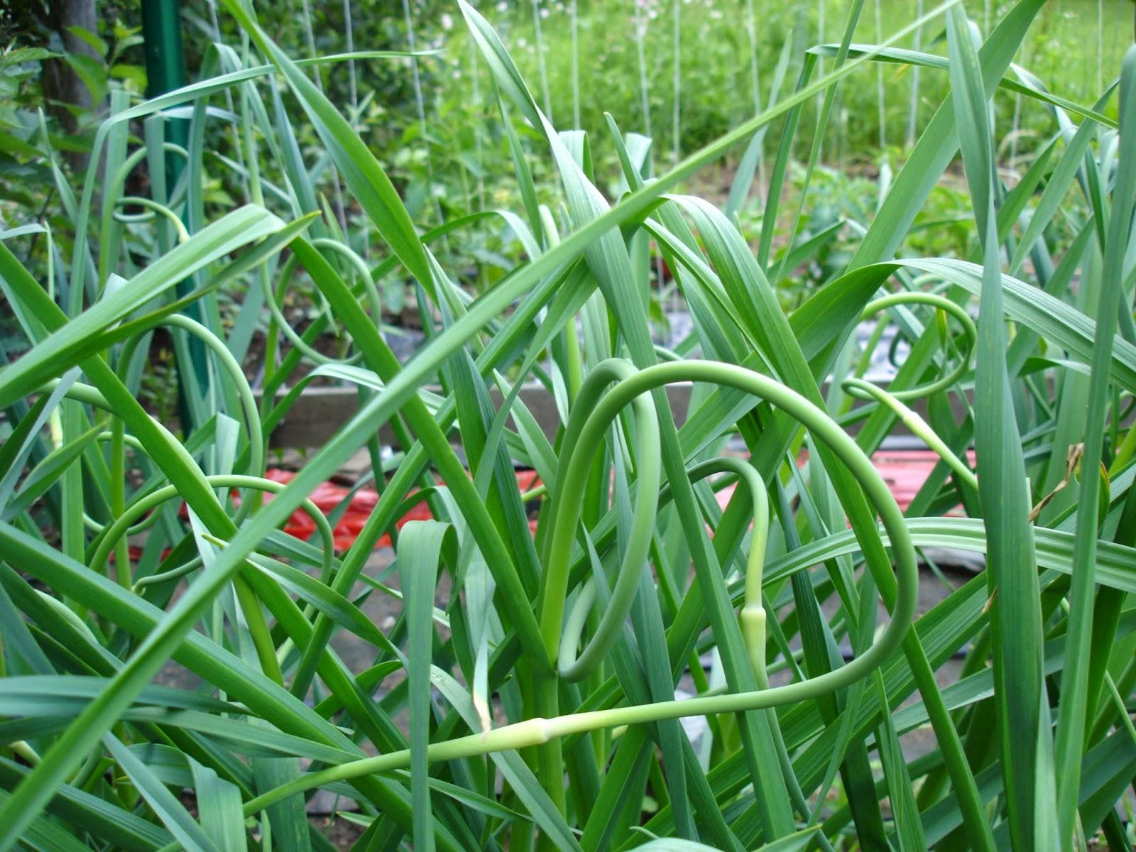 Как и где посадить чеснок под зиму