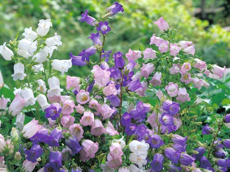 Растение кампанула садовая многолетняя