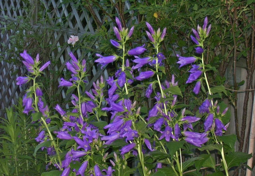 Кампанула садовая многолетняя Брантвуд