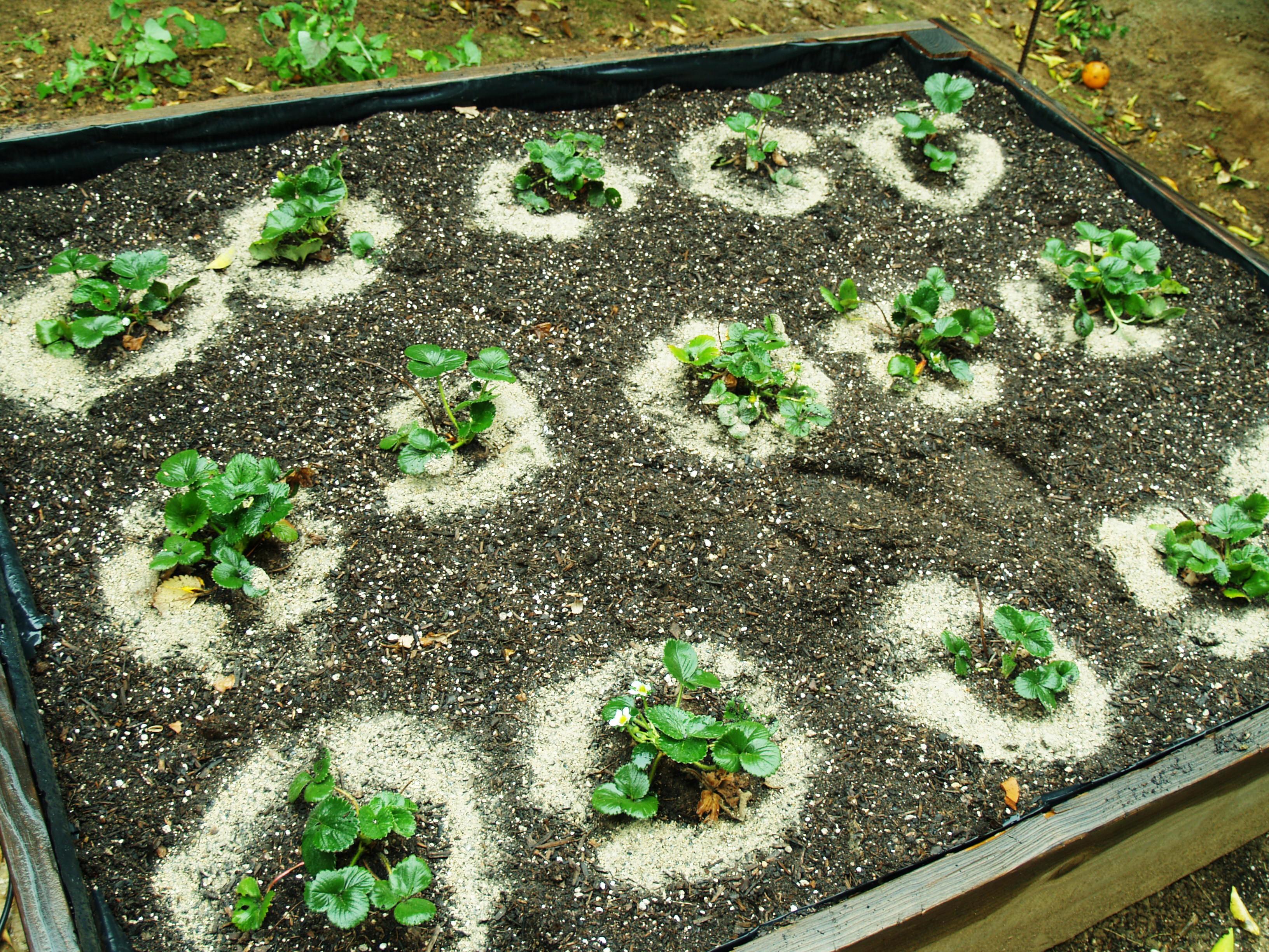 Подкормка клубники в период цветения удобрениями