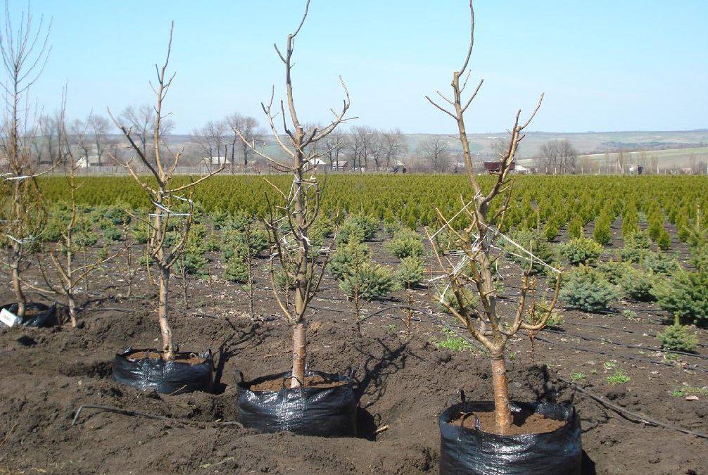 Когда сажают плодовые деревья 370