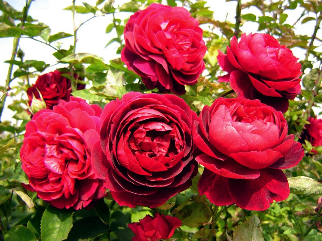 Розы на фото