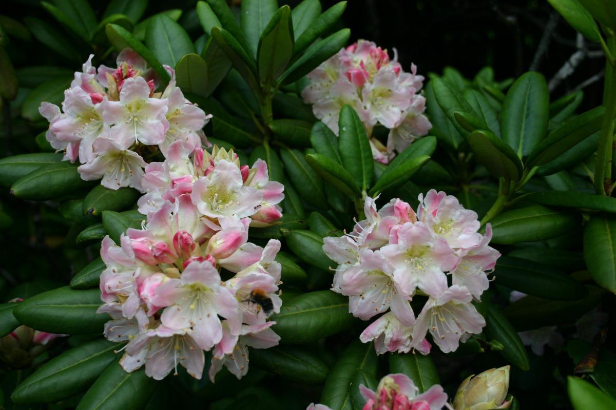 Цветы родендрона