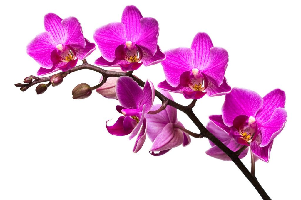 Орхидея (январь)