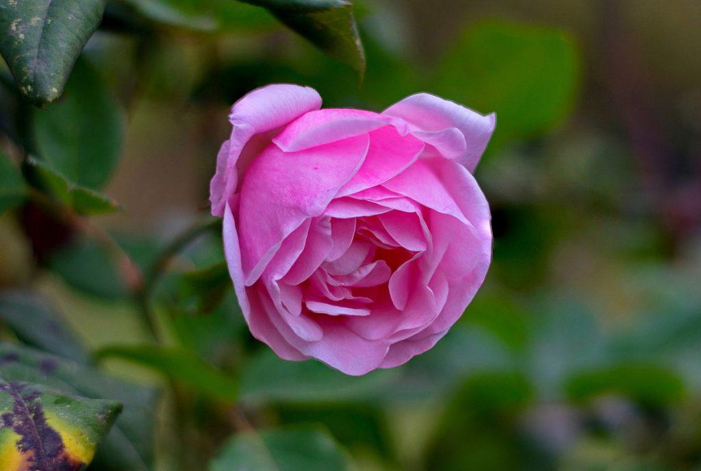 Роза (ноябрь)