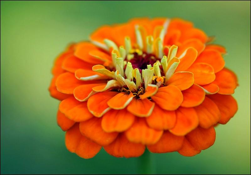 цинния с оранжевыми соцветиями