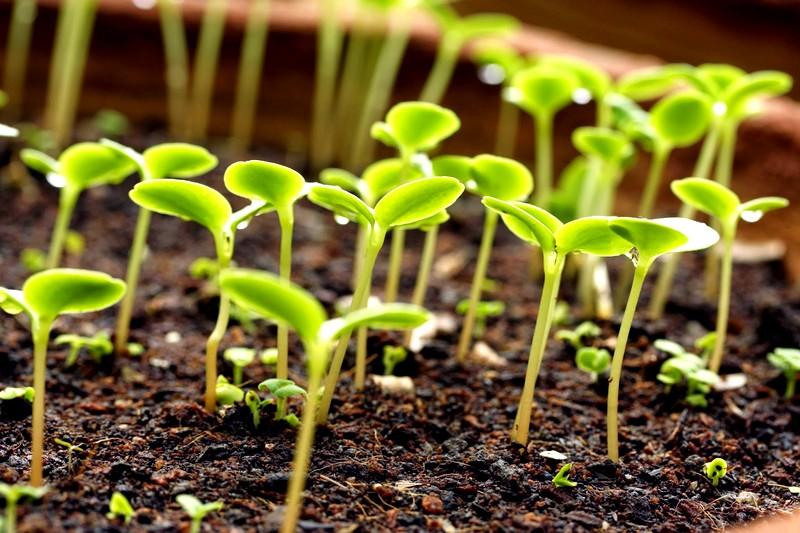 посев циннии на рассаду