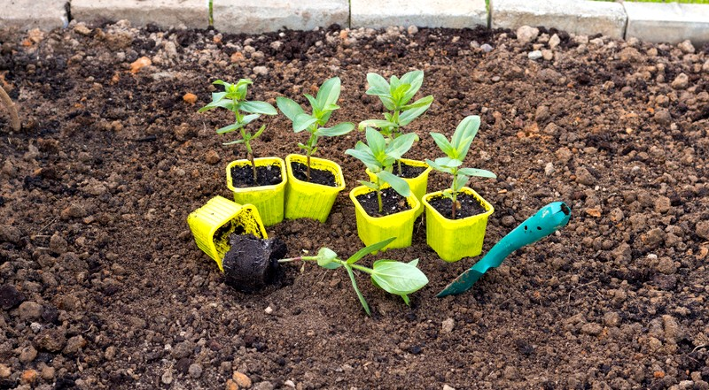Как сажать семена на рассаду цинии 45