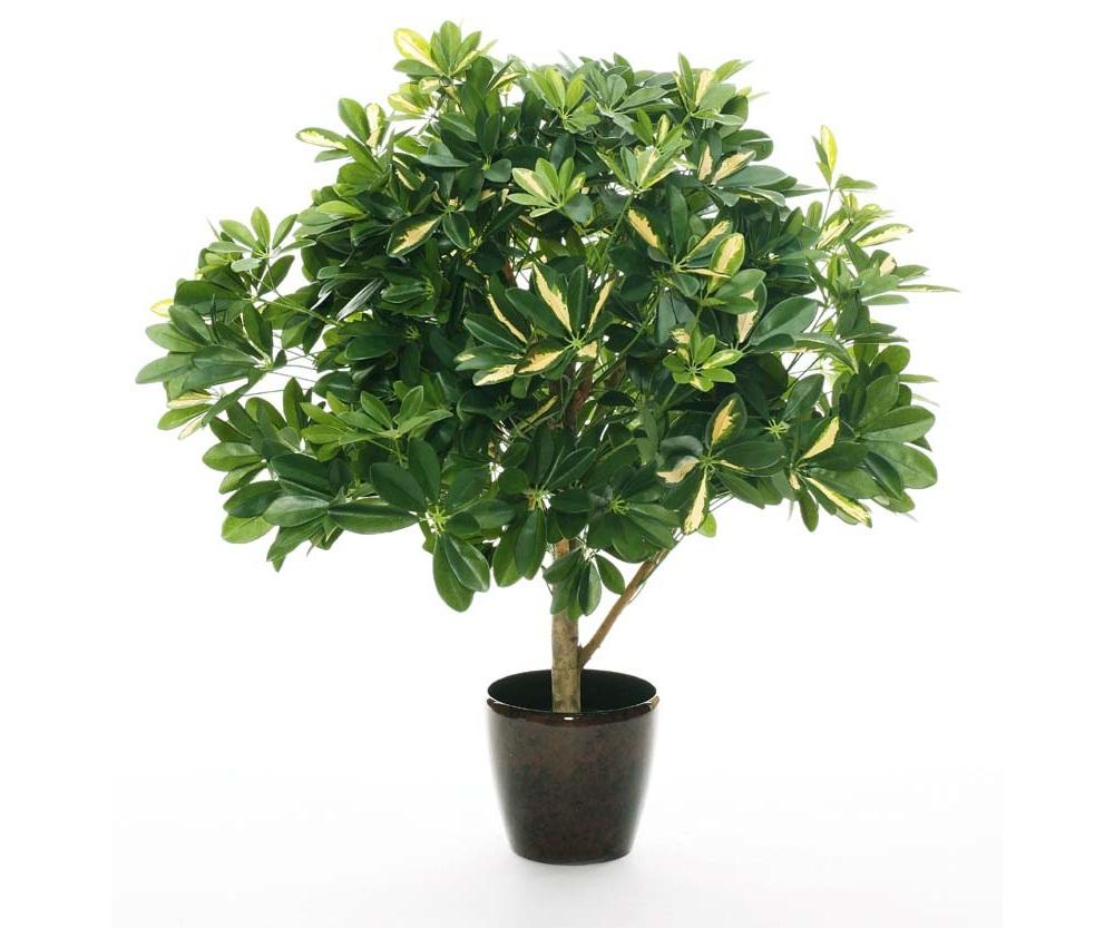 Чтобы создать шефлеру шаровидной формы, нужно прищипнуть верхушку растения