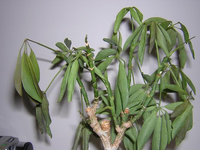 Черезмерный полив и отсутствие дренажа приводит к загниванию корневой системы и увяданию растения