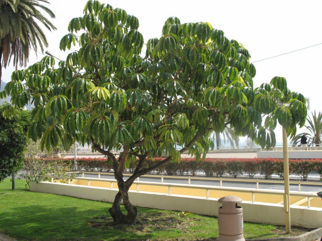 Шефлера - это не только комнатное растение, но и тропическое дерево, которое может достигать 4 метров в высоту