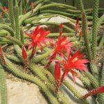 Фото 11: Aporocactus Концатти
