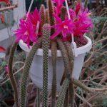 Фото 10: Aporocactus flagelliformis