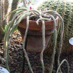 Фото 9: Aporocactus flagelliformis Käärmekaktus Ormkaktus