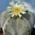 Фото 16: Astrophytum myriostigma Onzuka