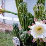 Фото 93: Цветение цереуса перуанского