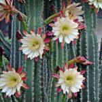 Фото 96: Cereus repandus