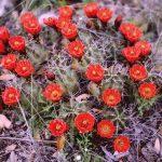 Фото 109: Echinocereus coccineus